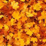 紅葉と楓の大きな違いの見分け方を解説!分類しているのは日本だけ?
